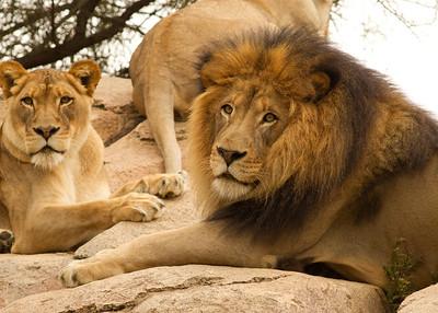 African Lion Safari Park 2014 03 07-4.CR2