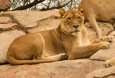 African Lion Safari Park 2014 03 07-3.CR2