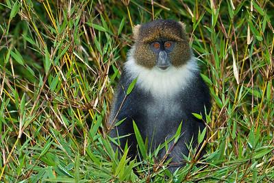 Blue Monkey (Cercopithecus mitis)