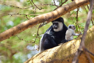 Black and White Colobus Monkey (Colobus guereza)