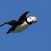 Horned Puffin in Flight with Fish