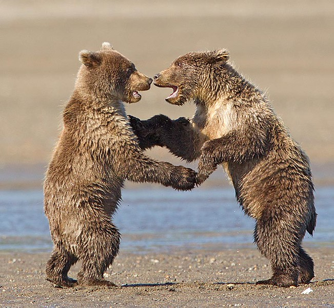 Grizzly Cubs Play Fighting/Shall We Dance