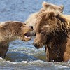 Grizzly Second Year Cub Confronting Sow