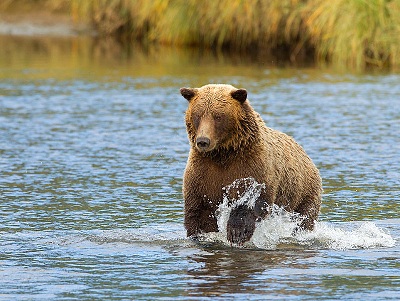 Grizzly Running in Creek