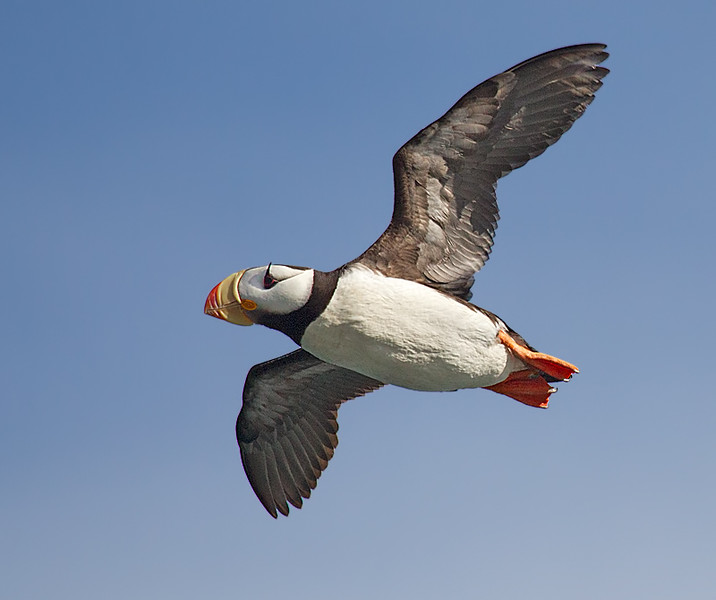 Horned Puffin in Flight