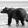 Grizzly B&W