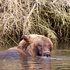 Grizzly Submerged in Creek
