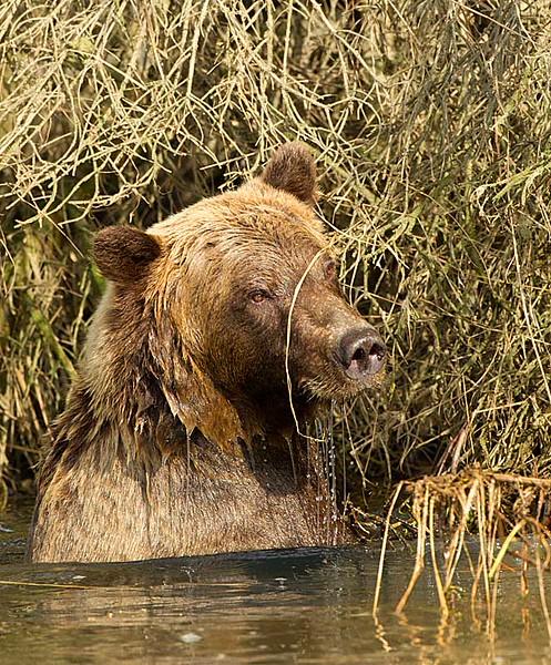 Grizzly Shoulder Deep in Creek
