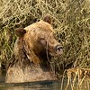 Grizzly Shoulder Deep in Creek