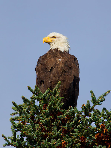 Bald Eagle Perched in Pine Tree