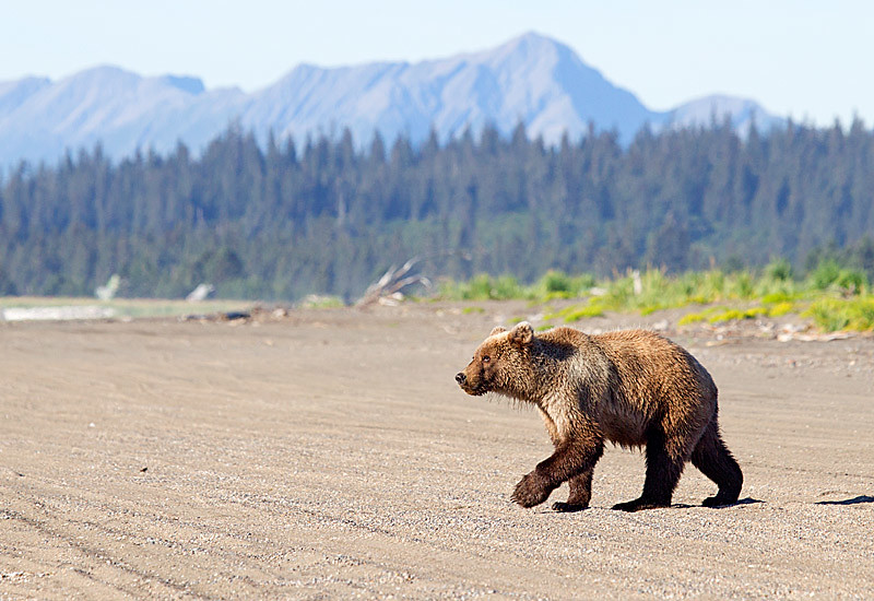 Grizzly Second Year Cub on the Beach