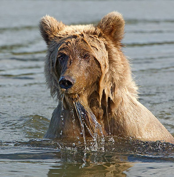 Grizzly in Creek with Water Running off Face