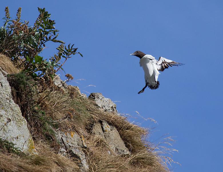 Common Murre Landing on Cliffside