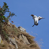 Common Murre Landing on Cliffside