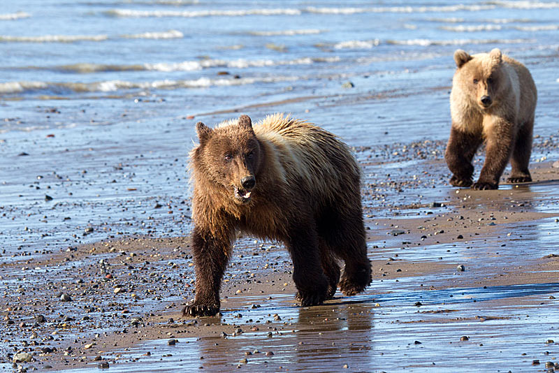 Grizzly Second Year Cubs Walking on Shore