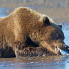 Grizzly Munching on a Fish Head