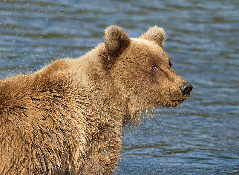 Grizzly Second Year Cub in Creek