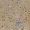 Grizzly Bear Paw Prints in the Mud