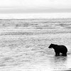 Grizzly Standing in Ocean B&W Silhouette