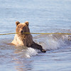 Grizzly Cub Playing with a Rope in the Ocean