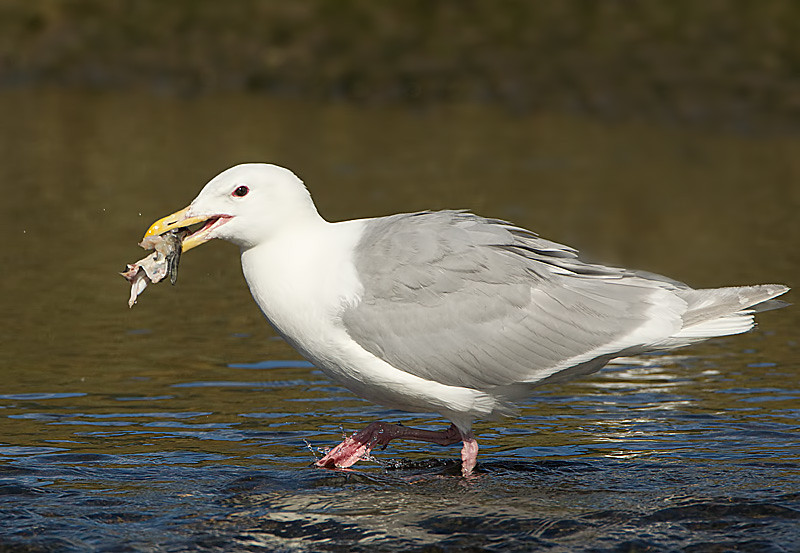 Glaucous winged Gull with a Piece of Salmon