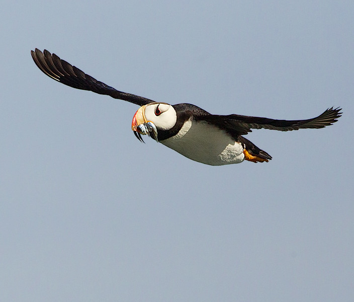 Horned Puffin in Flight with Fish 2