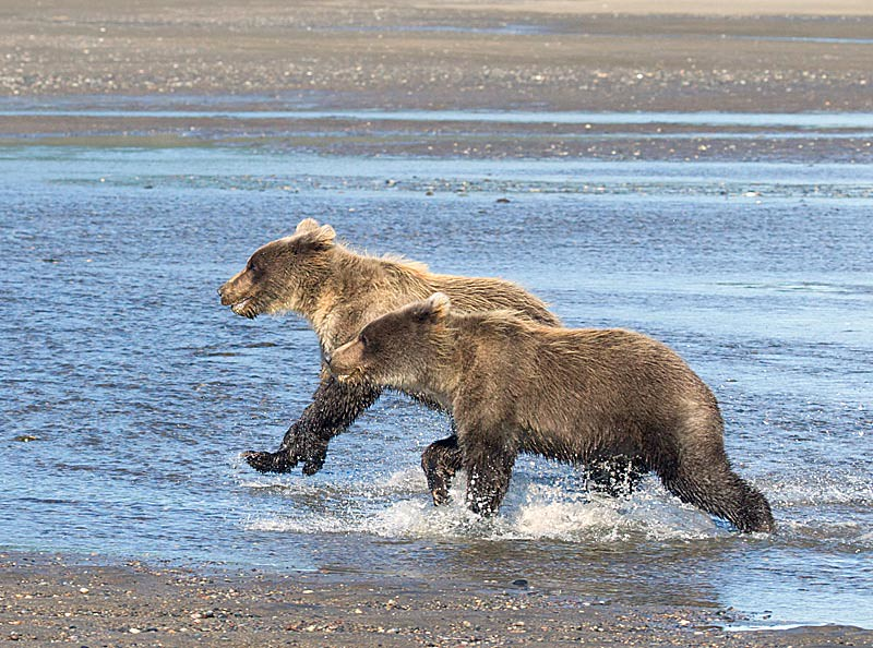 Grizzly Second Year Cubs Running on Shore