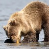 Grizzly Second Year Cub with Razor Clam