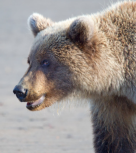 Grizzly Second Year Cub I See You Out of the Corner of My Eye