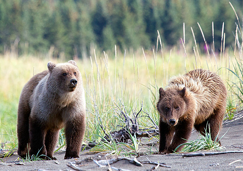 Grizzly Second Year Cubs