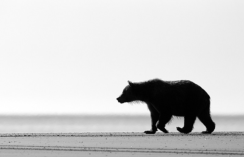 Grizzly Walking on Beach B&W