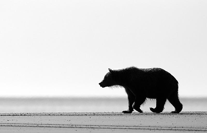 Grizzly Walking on Beach B&W