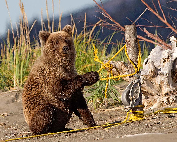 Grizzly Cub Playing with Yellow Rope on Beach