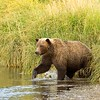 Grizzly Sow Entering Creek From Tall Grass