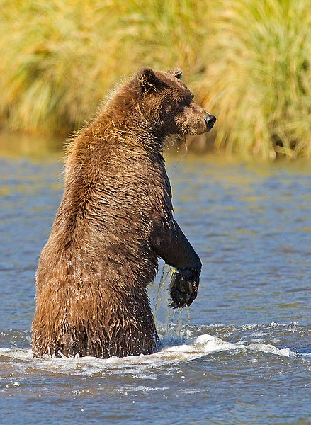 Grizzly Standing in Creek