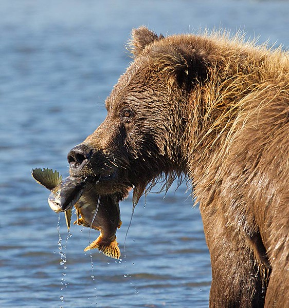 Grizzly with Fish