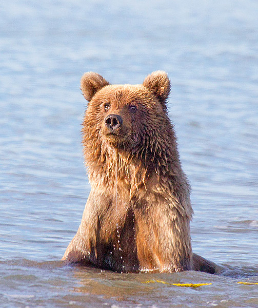 Grizzly Cub Siting up in Ocean