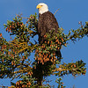 Bald Eagle Perched in Top of Pine Tree
