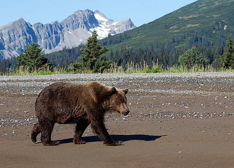 Grizzly Sow Walking on the Beach