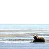 Grizzly Sow Sitting on Tidal Flats