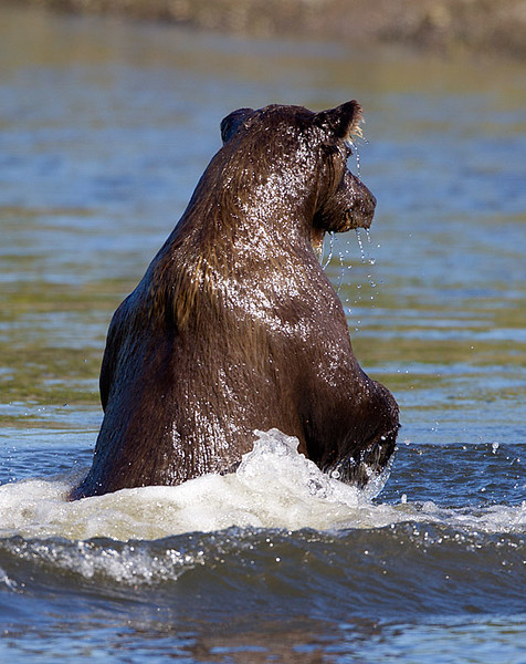 Grizzly Standing in Creek Dripping Wet