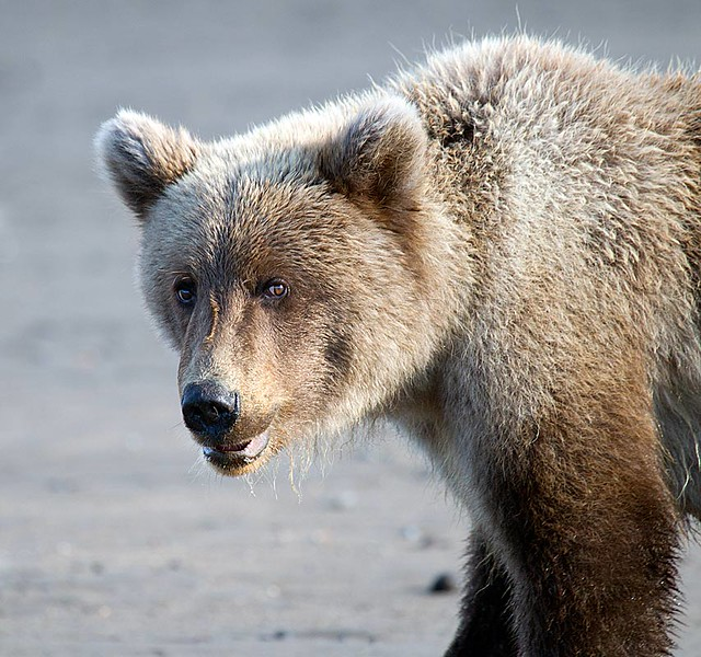 Grizzly Second Year Cub Portrait