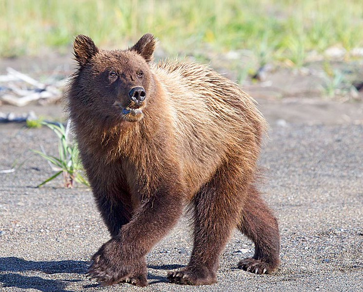 Grizzly Second Year Cub