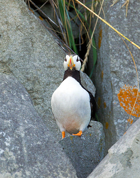 Horned Puffin 8