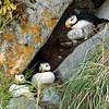 Horned Puffins in Nest Cavity