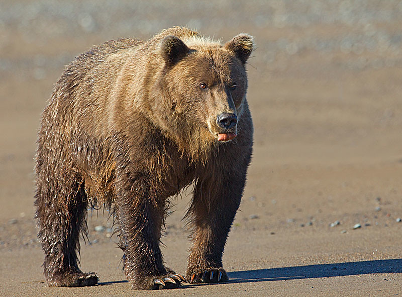 Grizzly with Tongue Out