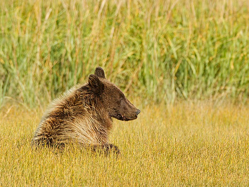 Grizzly Second Year Cub Sitting in Grass
