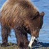 Cub eating a Silver Salmon