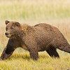 Grizzly Running