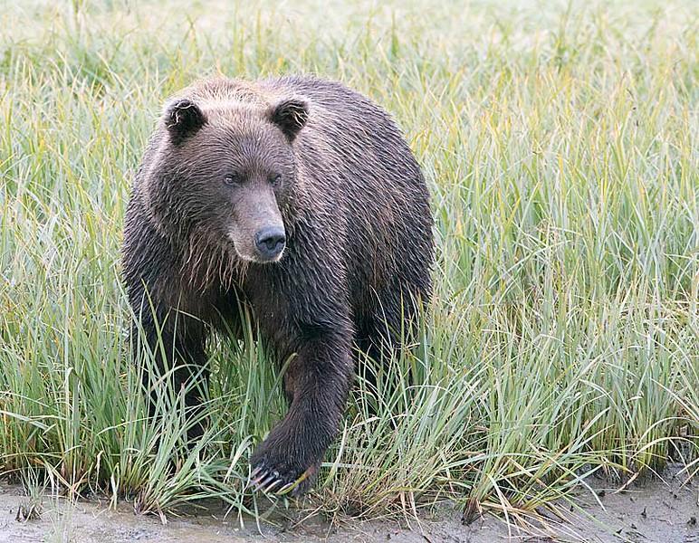 Alaska Brown  Bear Sow